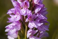 Orquidea maculata de los pantanos (Dactylorhiza maculata islandica)