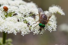 Philipomyia aprica (mascle)