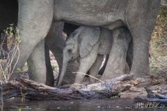 Elefant africà de sabana (Loxodonta africana)