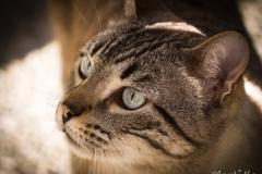 Miu (Felis silvestris catus)