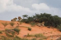 Lleones (Panthera leo)