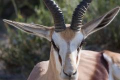 Gasela saltadora o springbok (Antidorcas marsupialis)
