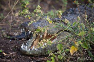 Cocodrilo en el Chobe