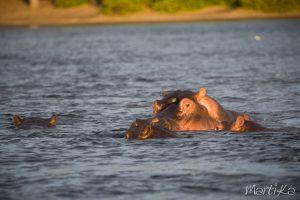 Hipopótamo en el Chobe