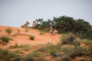 Leonas en el Kalahari
