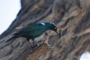 Estornino de El Cabo