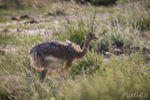Cría de avestruz